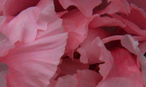 WSC rose horiz